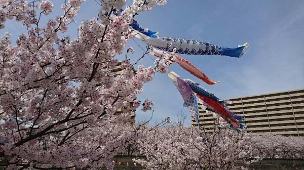 桜とこいのぼり.jpg